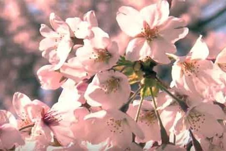 Flor del cerezo japonés